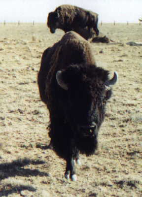 Sandia Buffalo Herd